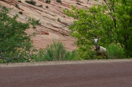 We went through a tunnel on our way to a hike in Zion and found this Bighorn Sheep checking us out. He's tagged, so he's used to visitors.